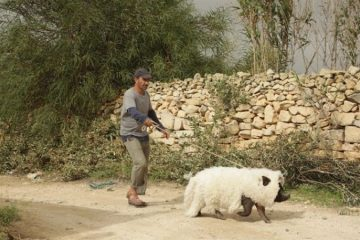 le-cochon-de-gaza-1